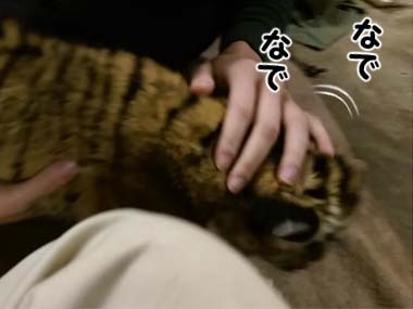 【でっかい猫】 トラの赤ちゃんを撫でてみる → 抱っこする → ママに言いつけてやるぅ!!