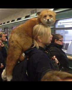 【悲報】女さん、肩にキツネを乗せて電車に乗ってしまう