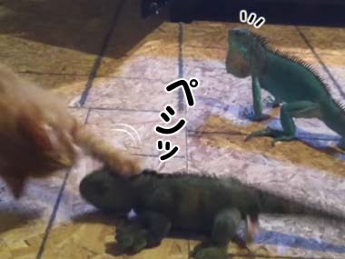 ネコが「イグアナ」のぬいぐるみで遊ぼうとする。その隣には本物のイグアナがいた → こうなる