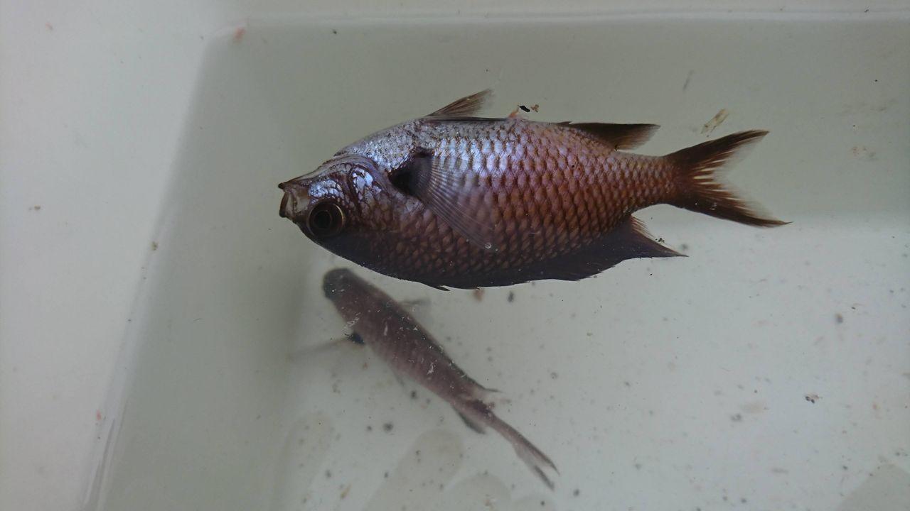 釣った魚のを飼いたいのですが名前がわかりません(_ _)(※画像あり)