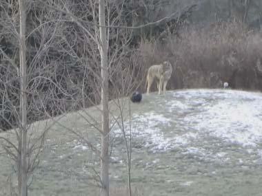 イヌが小さい丘で「ひとりボール遊び」をしている → と思ったら野性のコヨーテでした…