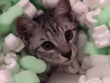 子ネコが「緩衝材」に潜って遊んでいた。すると口の中に1個入ってしまう → こうなっちゃう…