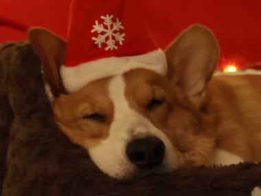 コーギーが「サンタさん」に手紙を書いた。プレゼントもらえるかな? 犬はベッドで眠りについた → すると…