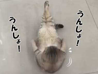 仰向けのネコが「腹筋」に挑戦していた → ニャイザップ、猫だってできる! → こうなる…