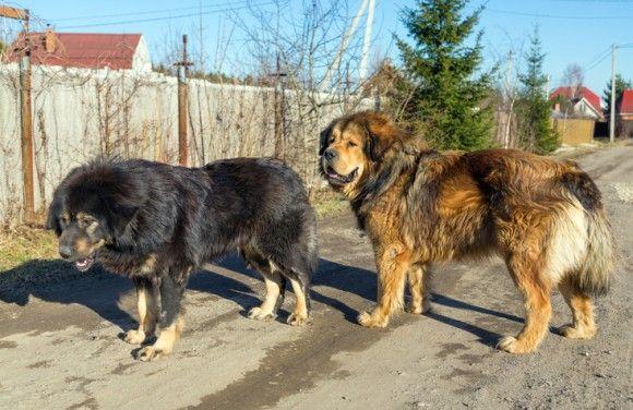 高地で生きるため、オオカミの遺伝子を受け継いだ犬、チベタン・マスティフ(米研究)