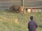 【動画】 足立区でイノシシ出没報告相次ぎ騒然 警察出動もまだ捕獲できず