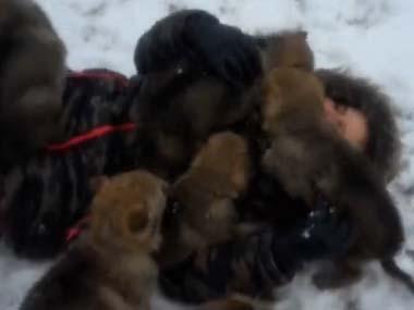 【閲覧注意?】 オオカミの群れに襲われて「悲鳴」を上げる女性!【モフモフの刑】