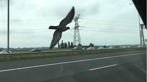 車と並走!高速道路の上を飛ぶレース鳩