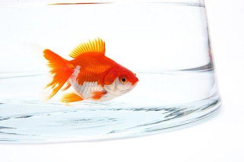 決意から40年、遂に緑色の金魚が誕生!97歳「仙人」が繁殖成功!