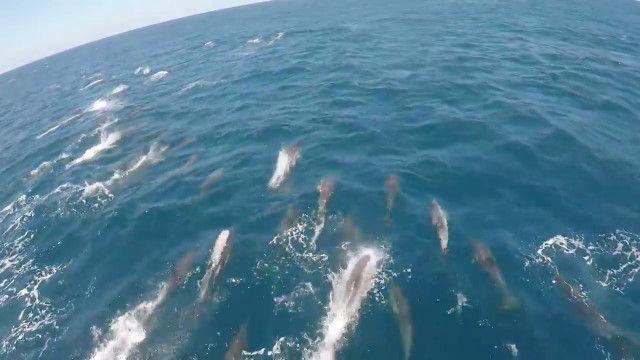 イルカの大規模な群れと遭遇!並走しつつ撮影した映像が大迫力