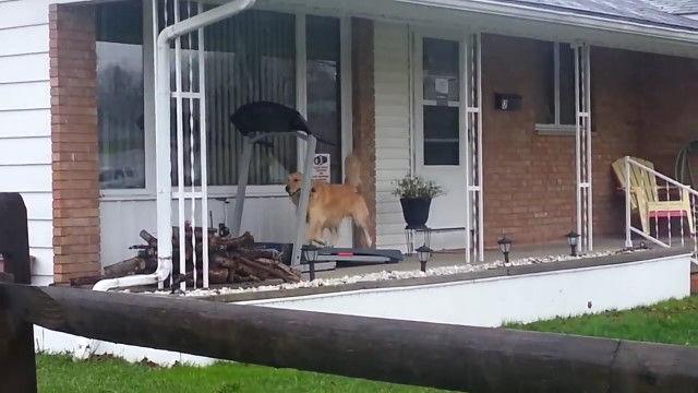 散歩もできない雨の日の、ある犬の過ごし方