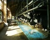 牛舎内には牛さんがいっぱい
