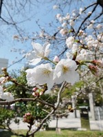 さくらが咲き始めた天神中央公園