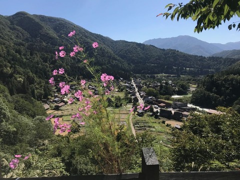 荻町城跡展望台に咲いたコスモスがいい感じ