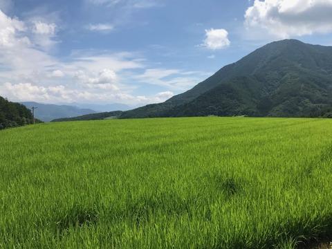 田んぼのグリーンが最高に綺麗!