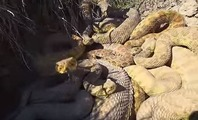 ガラガラヘビ3