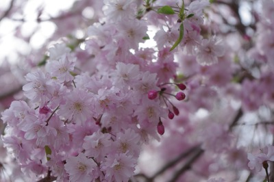 cherry-blossoms-4780211_1920