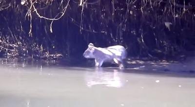 泳ぐコアラ