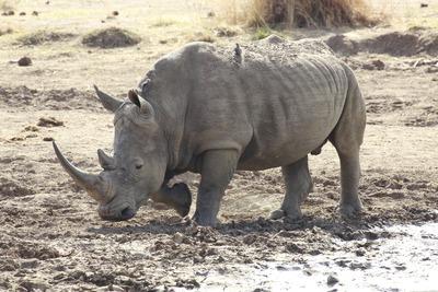 white-rhinoceros-250397_1920