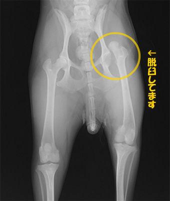 犬 股関節 脱臼