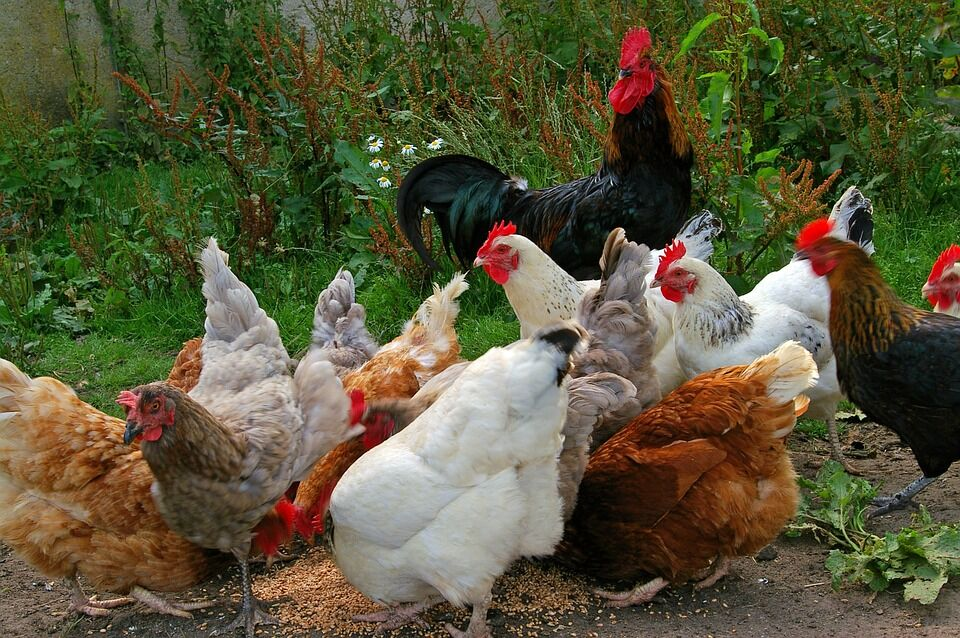 chickens-874507_960_720