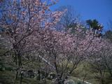 千光寺・桜