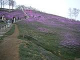 芝桜・去年