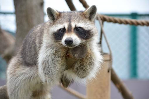 【悲報】アライグマ、ゴミだった… 「絶対に飼ってはいけない動物」全然なつかない