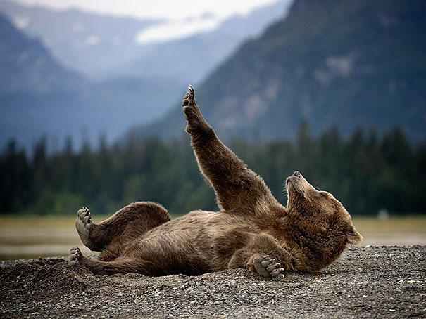 funny-bears-doing-human-things-9