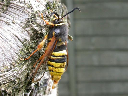 hornet-moth-4