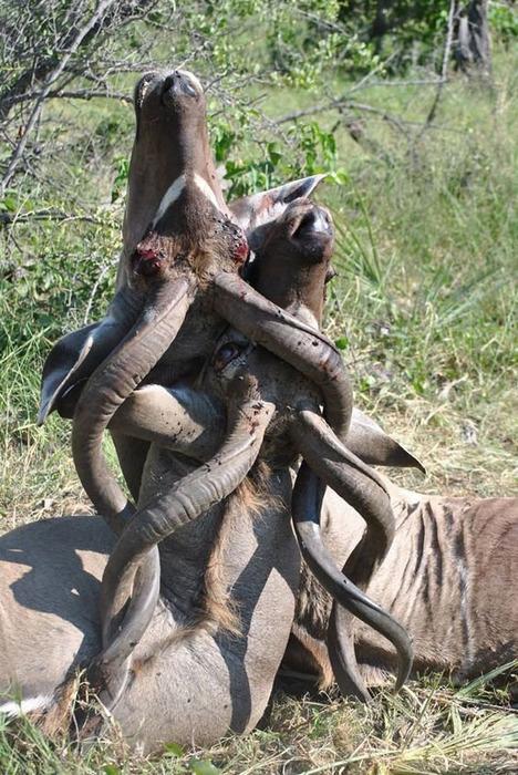 【悲報】牛さん、ケンカの最中にツノがからまり合いほどけなくて死亡