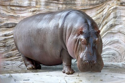 1280px-Hippopotamus_-_04