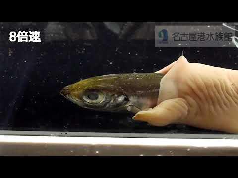 キモすぎて20年以上名古屋港水族館のバックヤードで飼われていた「生きている腸」のような生物。公開したらまさかの大人気に!