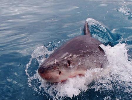 【悲報】ホホジロザメ、シャチに遭遇しただけで1年間も逃げ回る