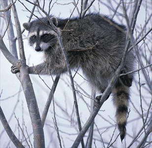 1024px-Raccoon_climbing_in_tree_clipped
