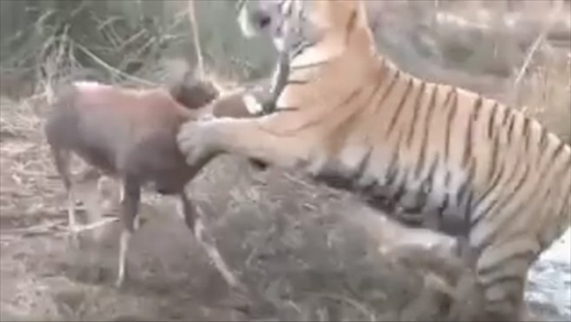 【悲報】イキったヤギさん、トラに喧嘩売るも一瞬で負ける