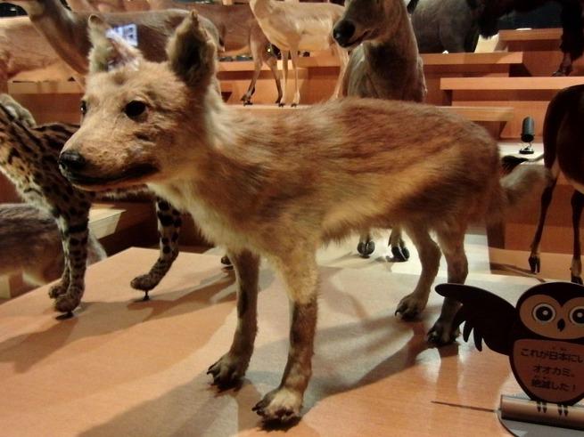 【悲報】ニホンオオカミさん、絶滅して当然だった