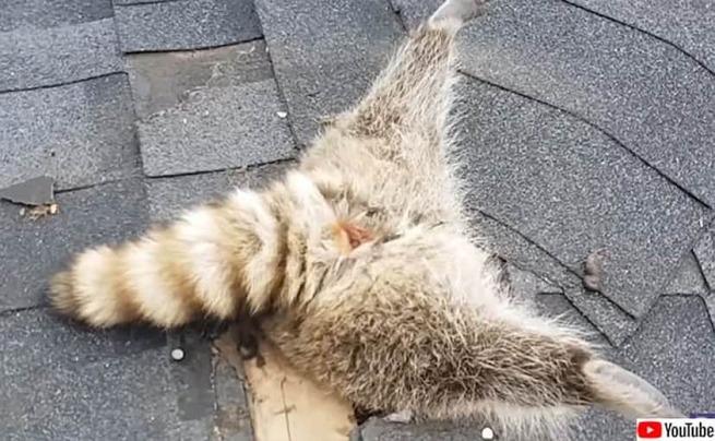 【悲報】アライグマ、屋根に刺さる