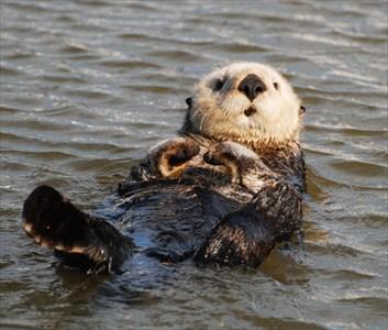 Sea-Otter-LeDent_R