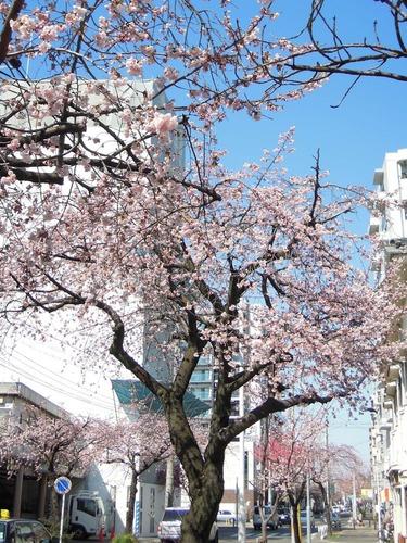 8332街の桜2