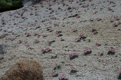 IMG_8498コマクサの花畑2m