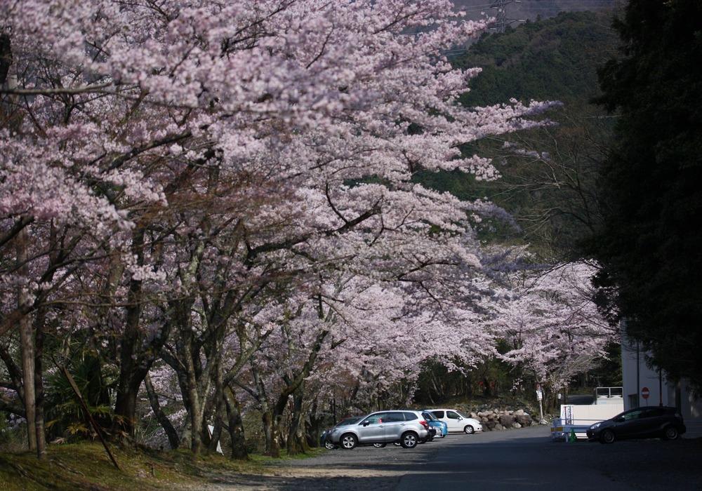 6043桜