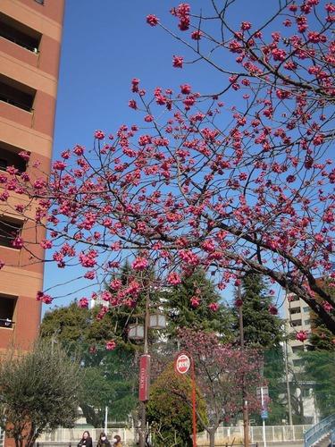 8328街の桜5