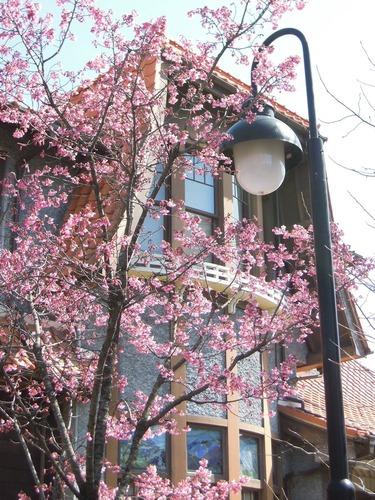 8338街の桜4