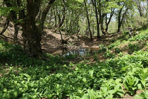 IMG_7389ウリハダカエデの池S