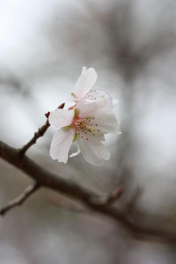 4945十月桜