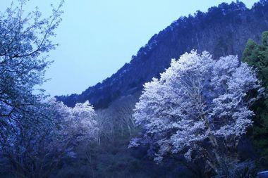 奈良屏風岩桜