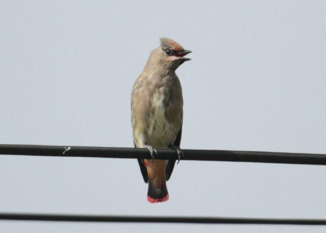 IMG_5836ヒレンジャク幼鳥