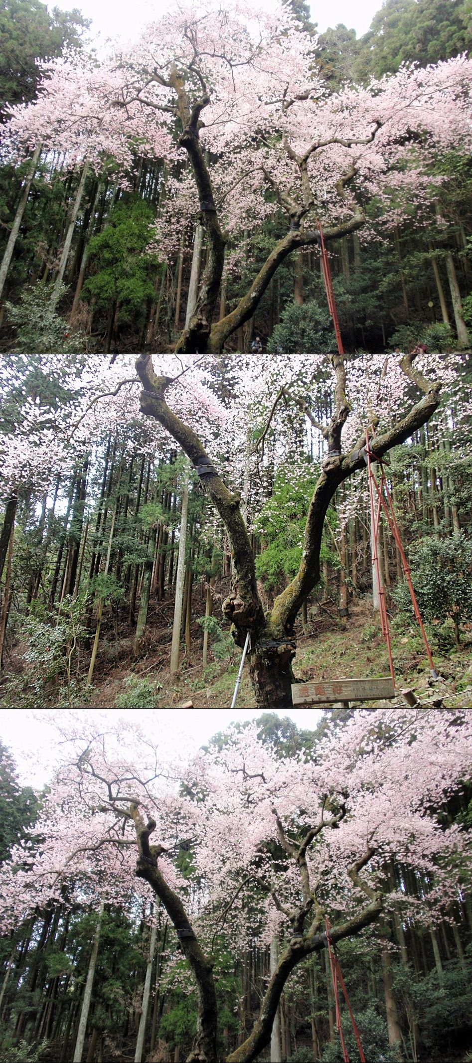 福智山登山(虎尾桜)2016年4月 : A.FのBLOG