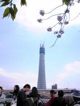 100403満開の隅田公園の桜と東京タワーの高さと超えたスカイツリー?